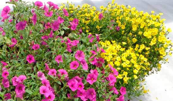 Flores ornamentales obtenidas de variedades nativas por el for Origen de las plantas ornamentales