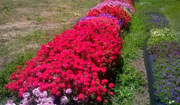 Inta argentina una nueva y atractiva variedad de for Plantas decorativas ornamentales
